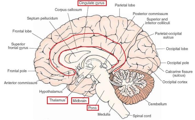 cervello sezione.jpg